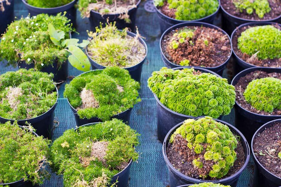 thuja-smaragd-plante-2