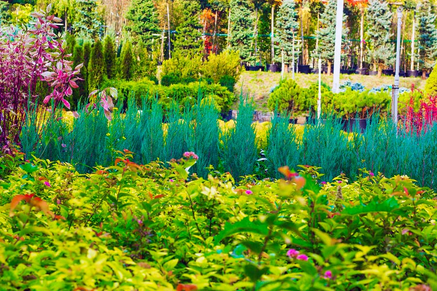Thuja Smaragd Plante